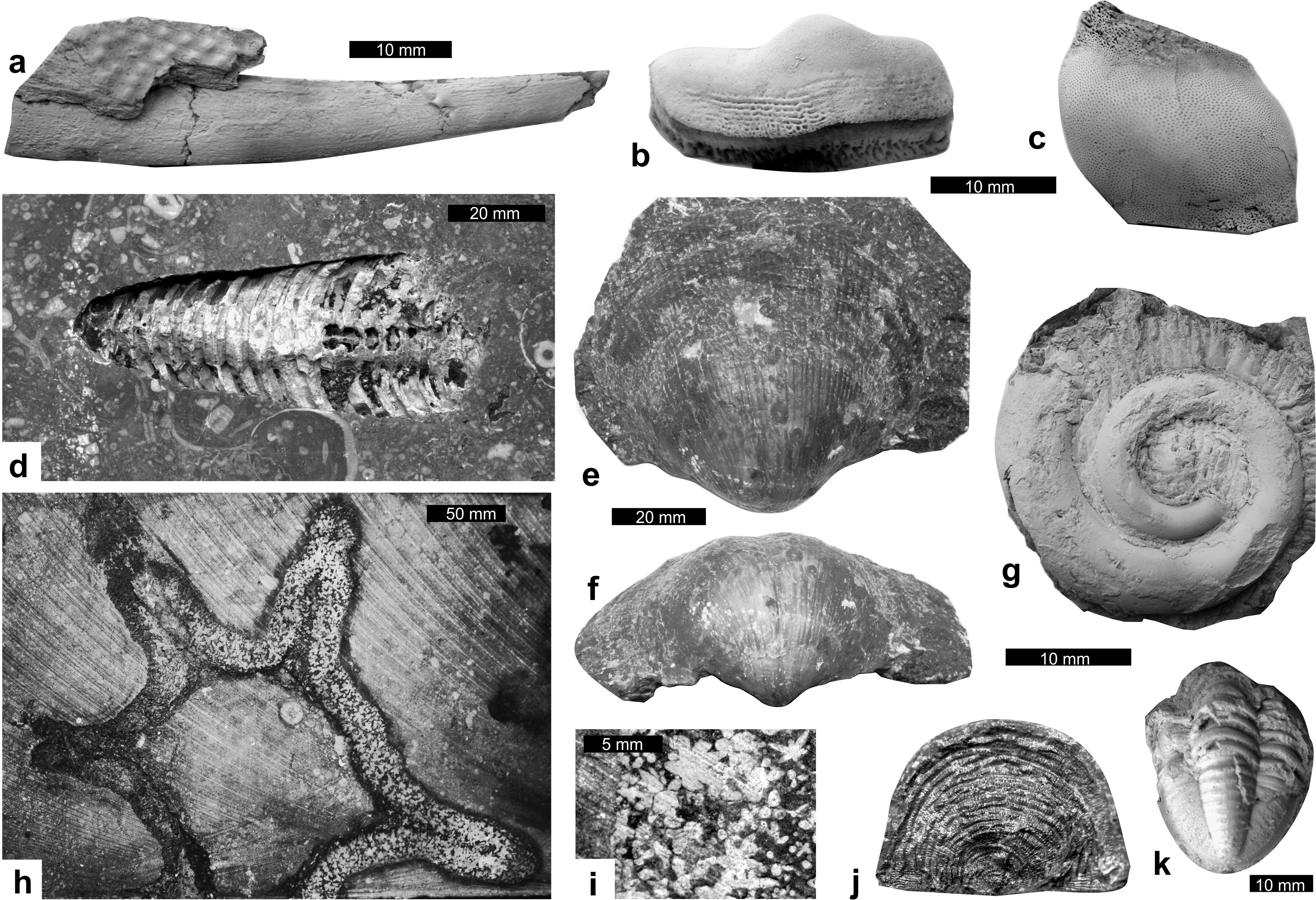 Palaeoecology Of The Upper Tournaisian Mississippian Crinoidal Fossil Jr 1511 68figure 13 Macrofauna Remains From Belgian Encrinite A Undetermined Dorsal Spine Hybodontoid Chondrychthian